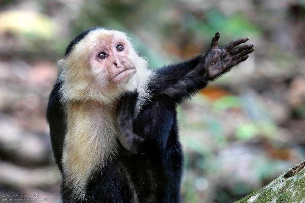 Сумской горсовет пытался приобрести обезьяну-капуцина через Prozorro