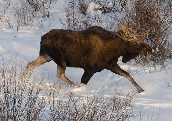 Разъяренный лось устроил погоню засноубордистами
