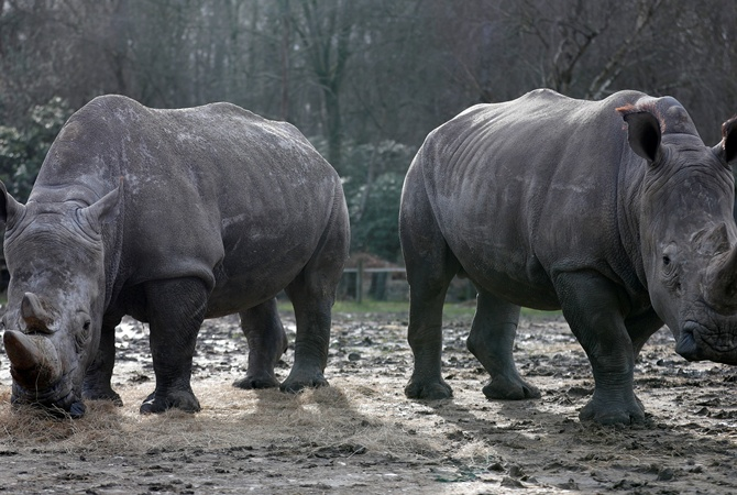 Браконьеры убили живущего вофранцузском зоопарке носорога иотпилили его рог