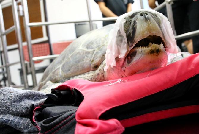 ВТаиланде погибла  проглотившая практически  тысячу монет морская черепаха