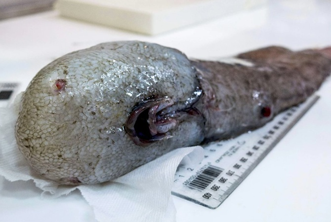 Уберегов Австралии словили ипоказали считавшуюся вымершей рыбу без лица