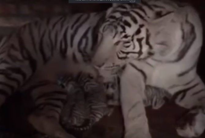 Взоопарке Бердянска белая бенгальская тигрица вывела 2-ое потомство вопреки законам природы