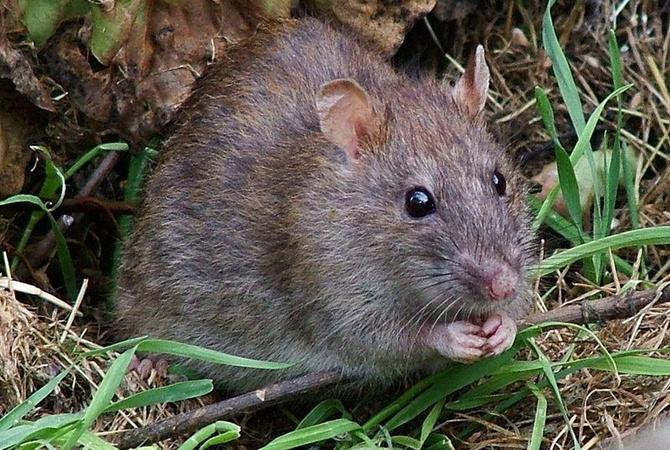 ВоФранции крысы едва несъели парализованного подростка живьем