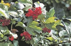 Последние ягоды сезона - как их вырастить в саду фото 1
