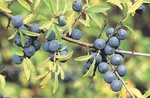 Последние ягоды сезона - как их вырастить в саду фото 3