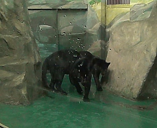 Вольер, в котором живут хищники, находится в зимнем павильоне, за глухим стеклом. Фото: Татьяна ГАЙДУКОВА
