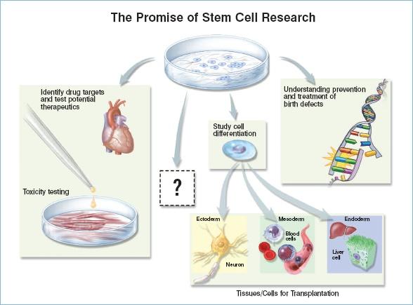 Перспективы исследования стволовых клеток. Фото: stemcells.nih.gov