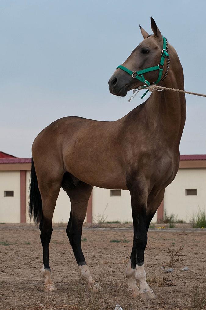 Ахалтекинская лошадь.
