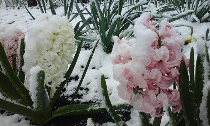 Снегопад в Лозовую (Харьковская область) пришел раньше всех - утром 18 апреля холода побили крокусы.