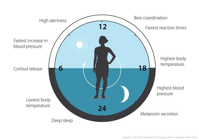 Наши биологические часы помогают регулировать сон, еду, гормоны и артериальное давление.