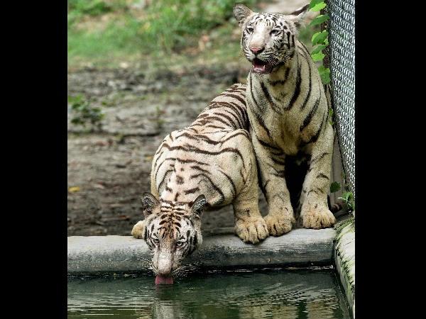 ВИндии два белых тигра загрызли мужчину
