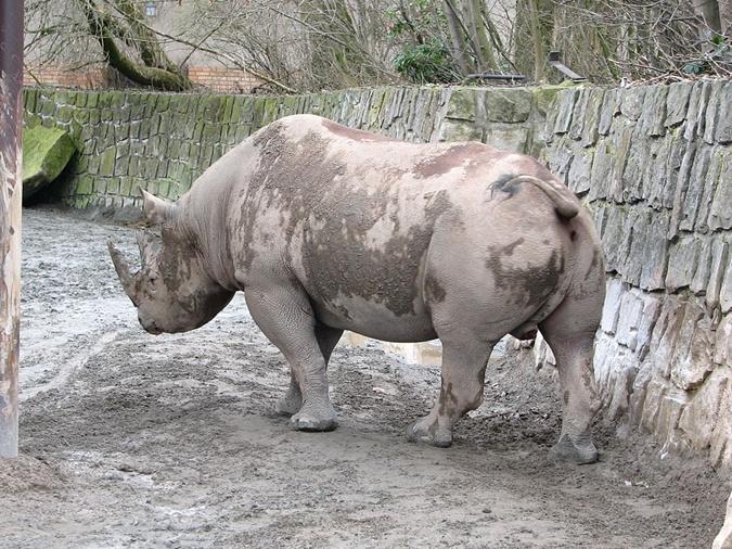 Черные носороги вымерли. Фото: Википедия