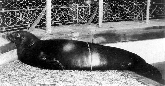 Карибский тюлень-монах. Фото: Википедия