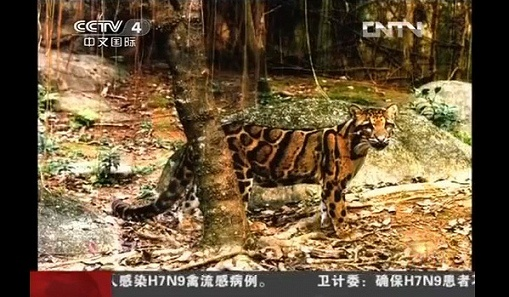 Тайваньский (формозский) дымчатый леопард. Фото: extinct-animals.wikia.com