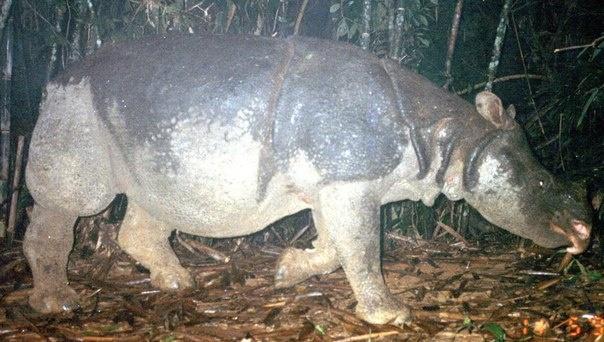 Этот подвид носорогов считается вымершим. Фото: extinct-animals.wikia.com