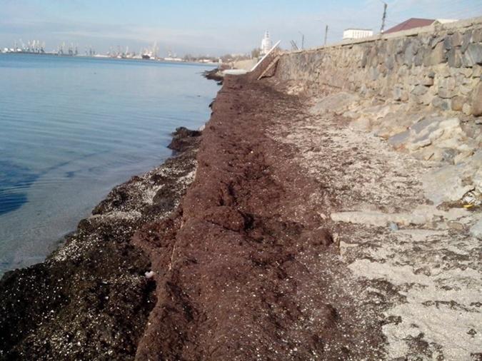 Пляжи Бердянска снова завалило смрадными водорослями фото 1
