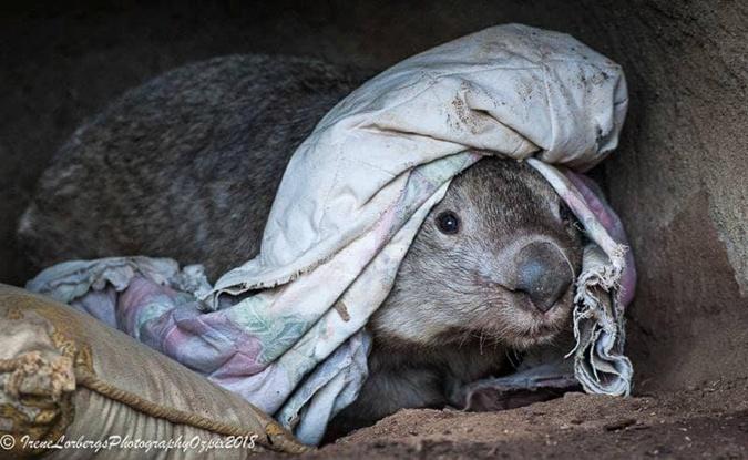 Винни в прохлданую погоду любила кутаться в одеяло. Фото: фейсбук National Zoo & Aquarium Canberra
