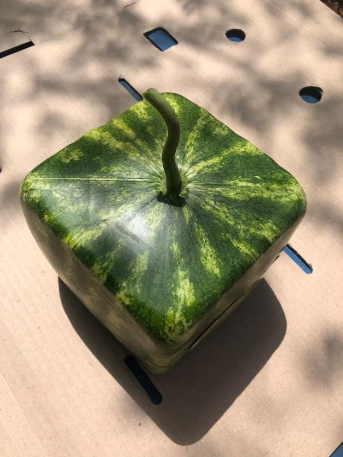 Кому квадратный арбуз? Фото: facebook.com
