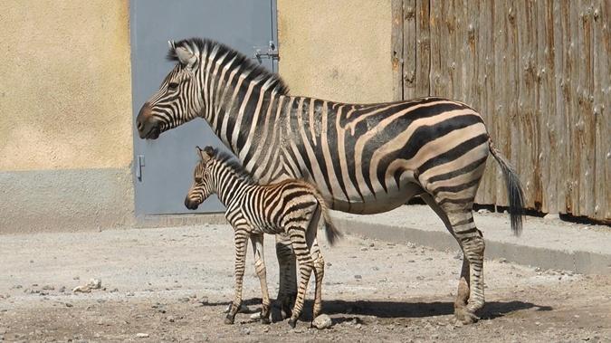 Фото: omr.gov.ua. Одесский зоопарк приглашает посмотреть на первые шаги милого полосатика