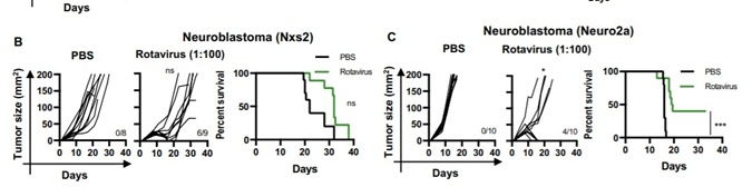 Итоги терапии ротавирусом для двух моделей нейробластомы в мышах.