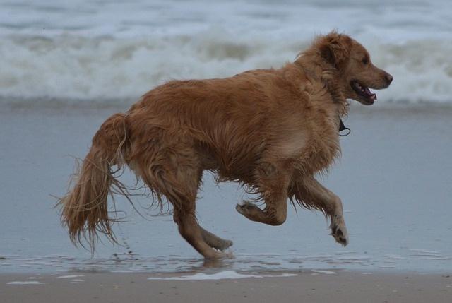 Золотистый ретривер - умный и добрый пес.