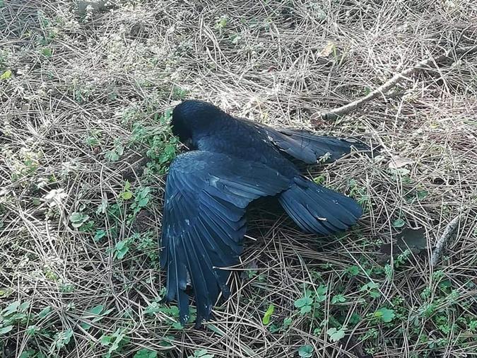 Каховчане собрали больше десятка мешков с дохлыми птицами. Что погубило грачей?