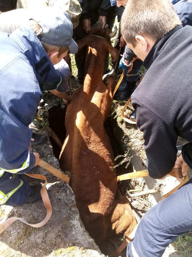 Операция по доставанию коровы из колодца прошла успешно. Фото: ГСЧС