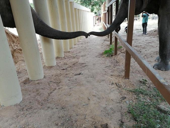 Самый одинокий слон в мире встретил слониху и повеселел фото 1