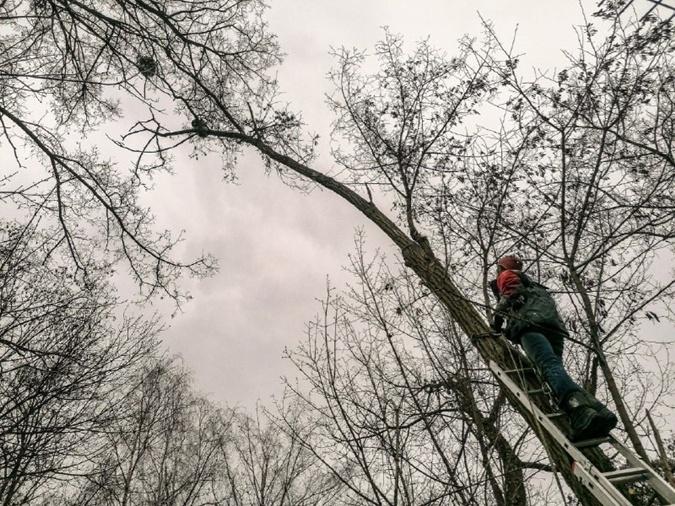 Енот в Киеве на дереве