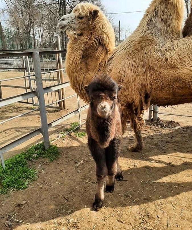 верблюжонок родился, одесский зоопарк