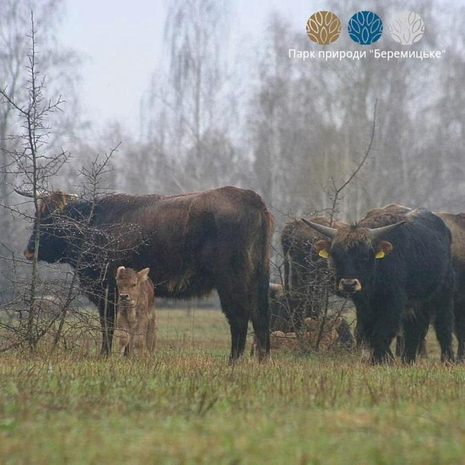 Дикие быки, парк Беремицкое