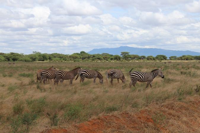 Зебры в парке Цаво.