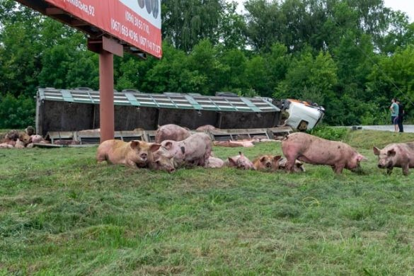 Авария фура со свиньями