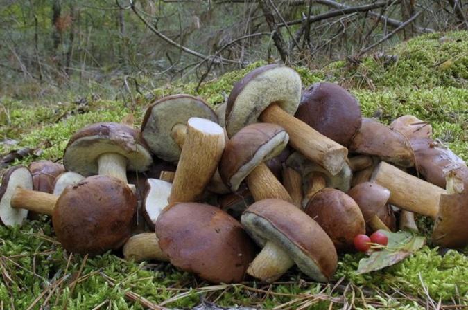 Польские грибы