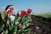 тюльпанное поле