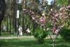 цветение сакур в киеве