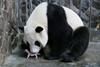 в китае родилась панда