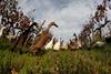 утки стерегут выноградники