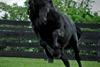 конь Фридрих Великий