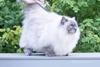 кошка принцесса Аврора