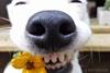 собака которая умеет улыбаться