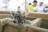 новорожденные тигрята в таиландском зоопарке Sriracha Tiger Zoo