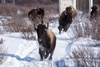 бизоны в канаде