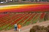 В калифорнии расцвели лютики
