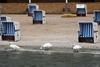 лебеди на пляже