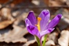 цветение шафрана