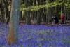 цветение колокольчиков