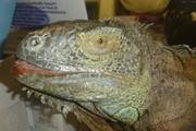 Владельцы  динозавра , пойманного под Киевом:  Генри - игуана, любящая свободу