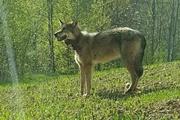 Жизнь и смерть знаменитого волка-вегетарианца из Беларуси, которого застрелили в Украине