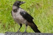 Мэр против ворон. Счет в пользу птиц